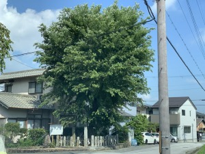 篠村八幡宮「旗立楊」